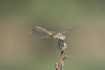 composizione di libellula a colori in primo piano vista lateral
