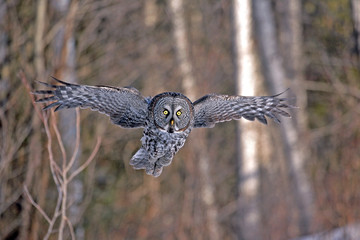 Great Grey Owl in flight, hunting