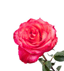 Single red rose isolated on the white background