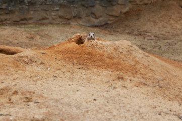 Gerbil peeping out from a sandy burrow