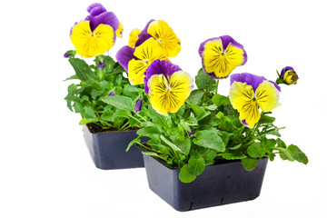Papiers peints Pansies Pansy Bedding Plants isolated on white