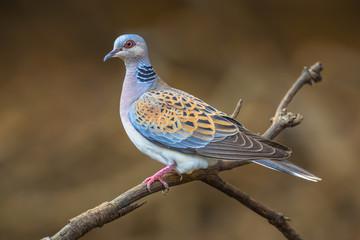 Turtle dove on branch Fotomurales