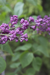 Close up of lilac buds on branch