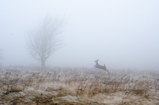 A whitetail deer runs through a meadow in Dolly Sods Wilderness in the Monongahela National Forest, West Virginia.