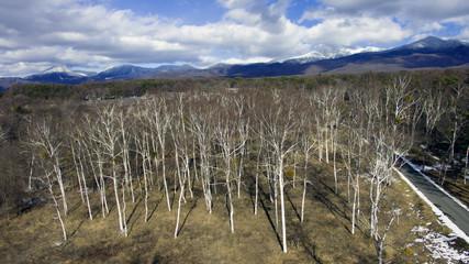 空撮 白樺林