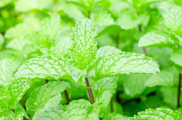 Mint Plant - Tea and herb.