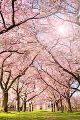 Wall Mural - Farbe des Frühlings: Garten mit Japanischen Kirschblüten :)