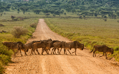 Antylopy gnu w Parku Serengeti