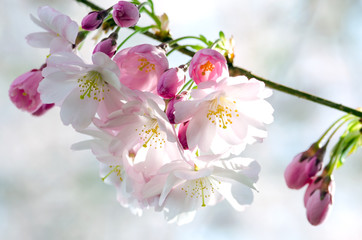 Wall Mural - Spring Dream : Japanese cherry blossoms :)