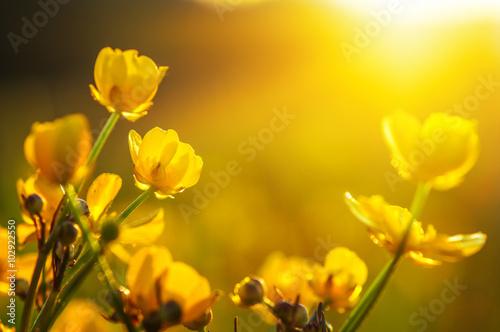 Цветы оранжевые лютик загрузить