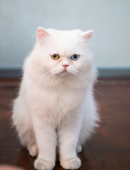 cute white Persian cat two color eyes