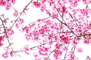 pink blossom sukura flowers on white,Thailand.