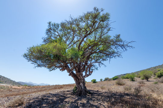 Single lonely green tree growing in Morocco