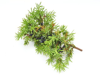 Common juniper Juniperus communis on white background