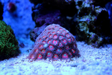Zoanthus Colony Polyp, colorful corals