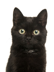 Cute black kitten young cat portrait facing the camera on a white background