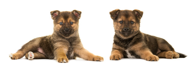Two cute lying down pomsky (mix between pomeranian and husky) puppy dogs both facing the camera isolated on a white background