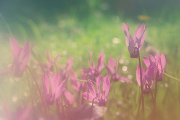 abstract dreamy and blurred image of cyclamen flowers blooming in the forest. vintage filtered and toned