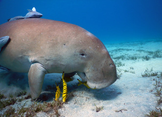 He is Dyson the friendly dugong from Marsa Mubarak (Marsa-Alam)