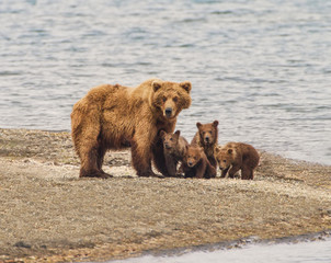 Grizzly Bear Family of Five  - a sow and four cubs focus their attention on an incomiing intruder at Katmai National Park, Alaska.  Is it a threat?