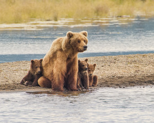 Safe With Mom - Three grizzly bear cubs snuggle up with mom for safety from wild and dangerous world around them.