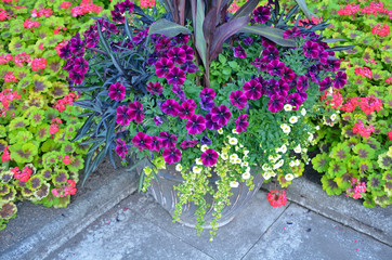 Colorful petunias and geraniums garden