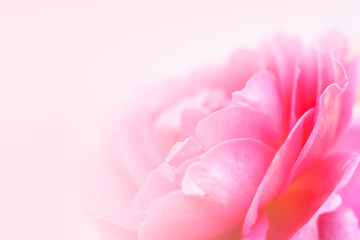 sweet pink rose petals in soft color and blur style for romantic background