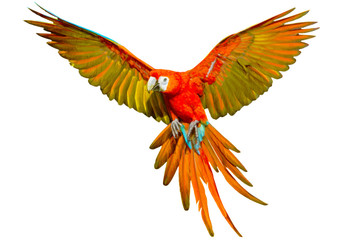 Parrot flying hand draw and paint on white background vector illustration.