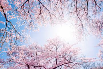 Wall Mural - Rosa Kirschblüten im Sonnenlicht