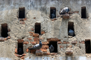 Pigeons resting in an old building.