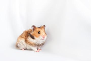 hamster goes