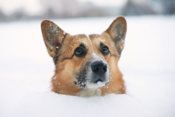 Sad Welsh Corgi Pembroke dog staying in a deep snow