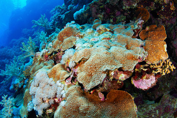 Colony of hard stony corals in the Red Sea, Egypt.