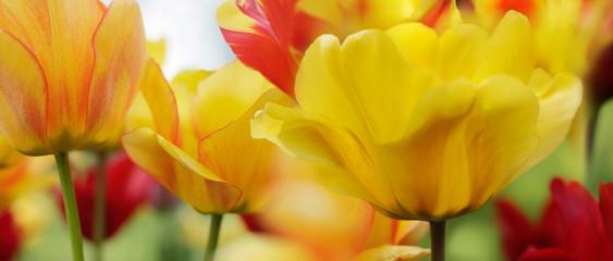 Fotoväggar - tulips red yellow highres