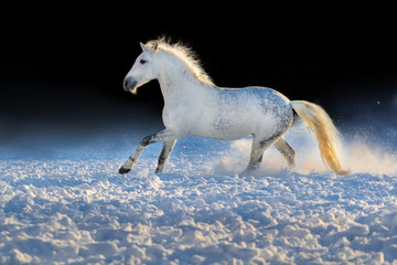 White horse run gallop in snow at sunset light