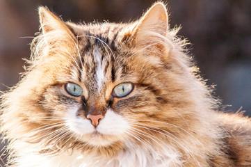 portrait of a beautiful fluffy cat