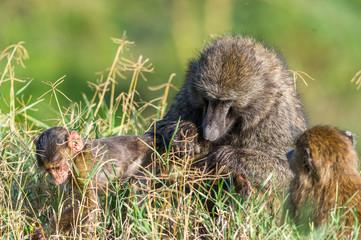 Pavianfamilie im hohen Gras lausen sich