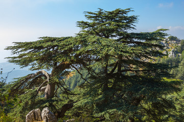 Cedar forest in Lebanon. The mountains of Lebanon were once shaded by thick cedar forests and the tree is the symbol of the country.