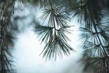 evergreen tree branch