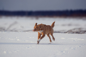 toller  dogs play