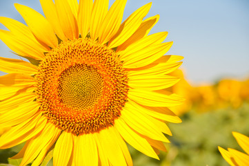 field of blooming sunflowers on a background sunset, summer landscape,