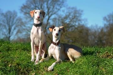 zwei Windhund Welpen