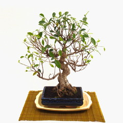 Bonsai clau alta