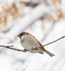 Sparrow winter nature