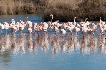 Group of pink flamingos in the water reflection