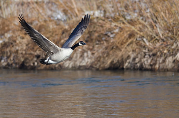 Canada Goose Flying Low Over the River