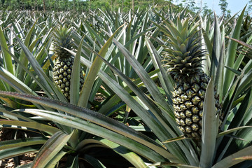 Pineapple tropical fruit growing in a field