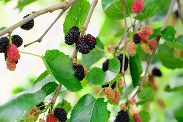 Berries Mulberry black, red and green on the branches of trees