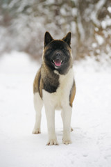 American Akita dog staying in the snow in winter forest