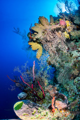 Thriving colorful corals on a tropical reef wall.